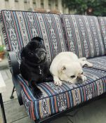 Happy pugs love their new patio cushions!